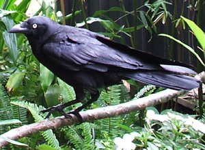 Rakka, Kim's Torresian Crow, a sentient being
